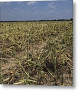 Vidalia Georgia Onion Fields Metal Print