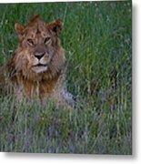 Vigilant Lion Metal Print