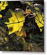 Vine Leaves At Sunset Metal Print
