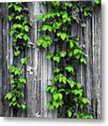 Vines On The Side Of A Barn Metal Print