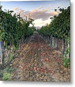 Vineyard In Tuscany Metal Print