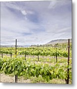 Vineyard Landscape In Maryhill Washington State Metal Print