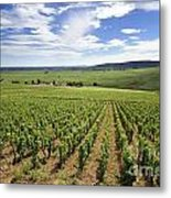 Vineyard Of Cotes De Beaune. Cote D'or. Burgundy. France. Europe Metal Print