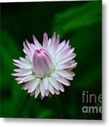 Violet And White Flower Sepals And Bud Metal Print