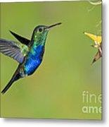 Violet-bellied Hummingbird Metal Print
