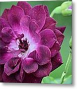 Violet Rose And Buds Metal Print