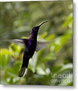 Violet Sabrewing At Cielito Sur Metal Print