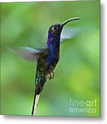 Violet Sabrewing Hummingbird Metal Print