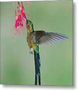 Violet-tailed Sylph Hummingbird Feeding Metal Print