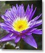 Violet Water Lily Metal Print