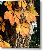 Virginia Creeper Autumn Color Metal Print