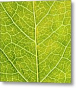 Virginia Creeper Leaf Metal Print
