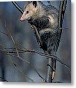 Virginia Opossum Metal Print