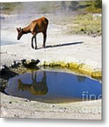 Visitor At West Thumb Basin Metal Print