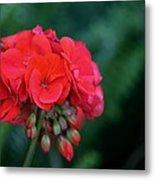 Vividly Red Geranium Metal Print