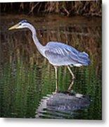 Wading Blue Heron Metal Print