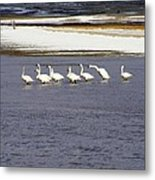 Wading Swans 2 Metal Print