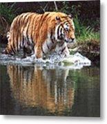 Wading Tiger Metal Print