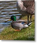 Wadlding To The Water Metal Print