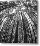 Walk In The Redwoods 6 Metal Print