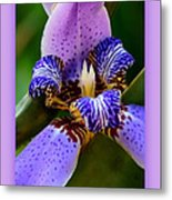 Walking Iris With Purple Border Metal Print