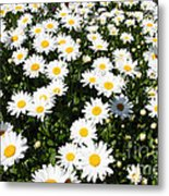 Wall To Wall Daisies Metal Print