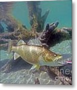 Walleye Pike And Dardevle Metal Print
