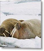 Walrus Male And Female On Ice Floe Metal Print
