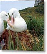 Wandering Albatross Diomedea Exulans Metal Print