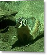 Wandering Badger Metal Print