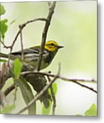 Warbler - Black-throated Green  Metal Print