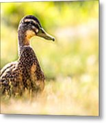Warm Summer Morning And A Duck Metal Print