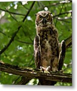 Warm Young Great Horned Owl Metal Print