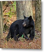 Wary Black Bear Metal Print