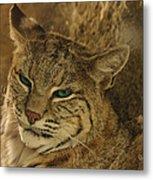 Wary Bobcat Metal Print by Penny Lisowski