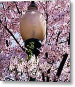 Washington Cherry Blossoms And A Lantern Metal Print