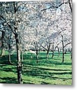 Washington Dc Cherry Blossoms Metal Print