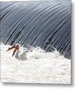 Washington White Pelicans Metal Print