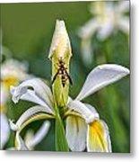 Wasp On White Iris Metal Print