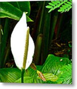 Water Arum In Park Across From Wat Phrathat Doi Suthep In Chiang Mai-thailand. Metal Print