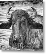 Water Buffalo-black And White Metal Print