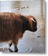 Water Buffalo Metal Print