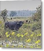 Water Buffaloes At Corroboree Billabong Metal Print