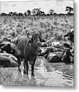 Water Buffaloes-black And White Metal Print