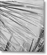water droplets from mountain mist running down pine needles on conifer trees on El Teide mountain Tenerife Canary Islands Spain Metal Print