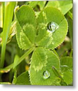 Water Droplets On Clover Metal Print