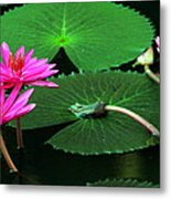 Water Lillies In Pink Metal Print