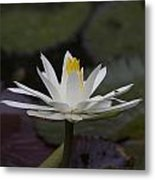 Water Lilly7 Metal Print by Charles Warren