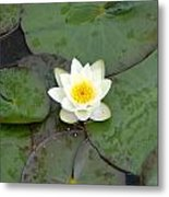 Water Lily - White Metal Print