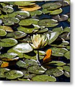 Water Lily And Bees Metal Print